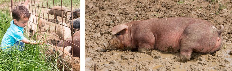 Duroc Schweine beim suhlen