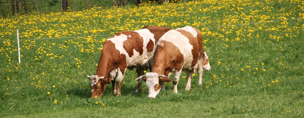 Kühe auf der Weide von Schätze aus Österreich