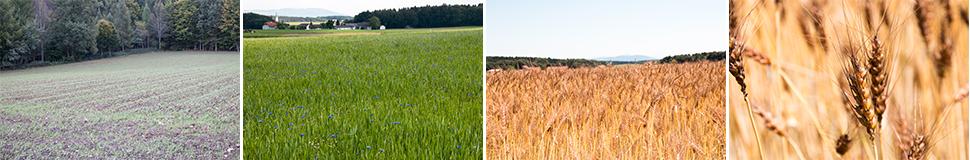 Laufener Landweizen im Jahreszyklus