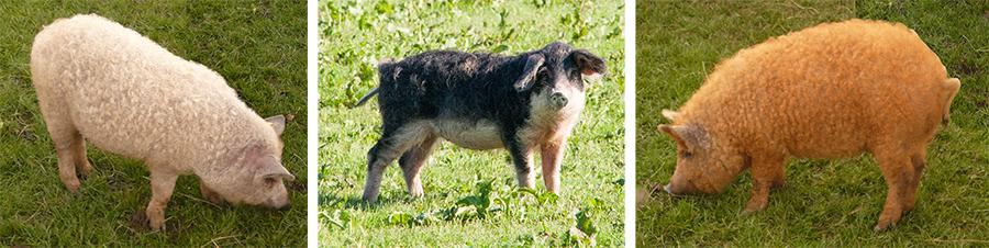Wollschweine - Mangalitza Rassen Blondes, Schwalbenbäuchig und Rotes Mangalitza Schwein