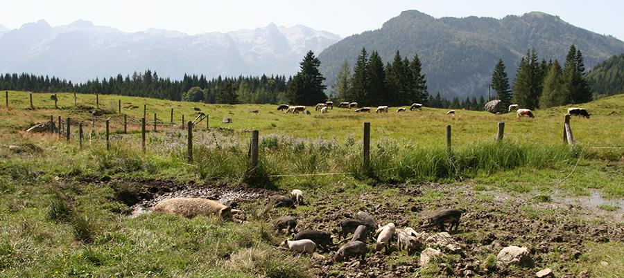Seewaldsee Mangalitza Schweine