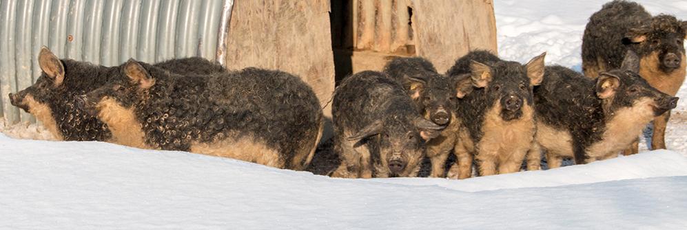 Mangalitza Schweine im Schnee