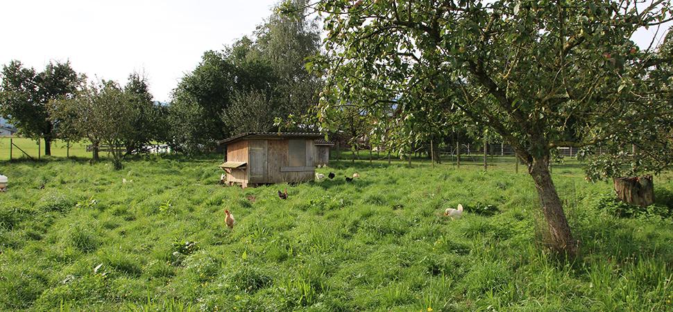 Sulmtaler Hühner auf der Wiese