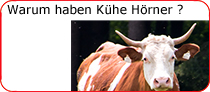 Warum haben Kühe Hörner