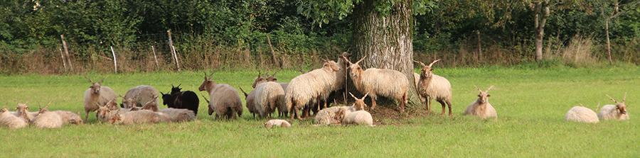 Zackelschafe auf der Weide